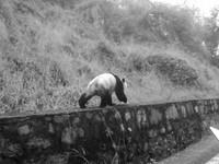 公路散步被打擾 貓熊撕爛野保員毛衣
