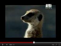 動物星球台語版 《狐獴大宅門》俗擱有力