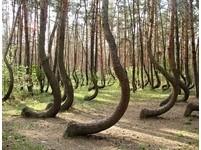 波蘭發現神秘「彎彎林」 原因成謎