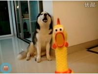 雞犬不寧!尖叫雞玩具叫聲恐怖 哈士奇狂吠呼應
