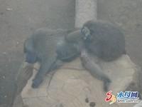 猛曬「寶貝」 山東狒狒「性騷擾」女遊客