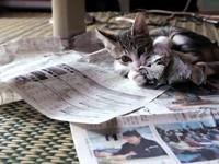 頑皮貓不讓主人看報紙 一翻頁就爆衝!
