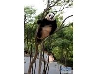 借居黃山樂不思蜀 四川貓熊胖了20公斤