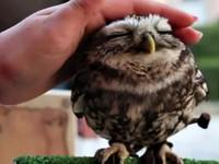 超古錐貓頭鷹被摸頭 陶醉幸福樣像個小老頭