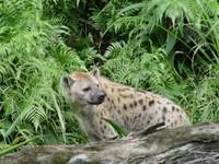 賊嘻嘻的笑聲 北市動物園斑點鬣狗見客
