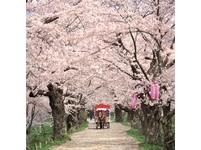 岩手縣4月底櫻花盛開 全國百選「櫻之迴廊」超美