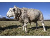 23歲的多莉號稱世界最老的羊 飼主:最擔心牠黏在地上