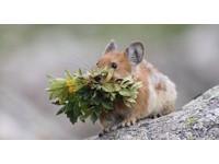「猜猜我是熊還是兔子?」圓滾滾的夢幻萌物—伊犁鼠兔