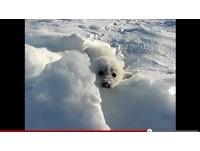 找不到媽媽?小鞍紋海豹對鏡頭流淚