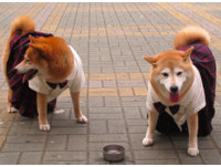 安溪國中迎接柴犬Yumi入學 校犬可樂「教訓」學妹!