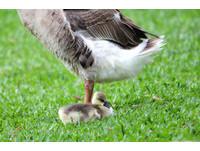 國際生物多樣性日 大湖公園「鵝家族」被通報進收容所(圖/溫芳玲攝影)