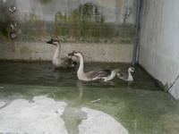 大湖公園「鵝家族」被抓報進收容所,暫時安置在動保處的兩棲池。(圖/台北市動保處提供)