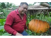 新竹「大麥克」百斤巨南瓜 相當於一頭神豬的重量