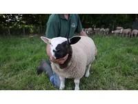 歌劇魅影「真羊」版! 基因奧妙讓咩咩出生黑白臉