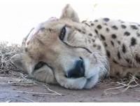 獵豹被飼育員撫摸 發出幸福呼嚕聲