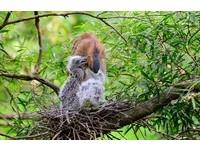 動物園黑冠麻鷺3年來叨位去? 台大森林系繫腳環追蹤