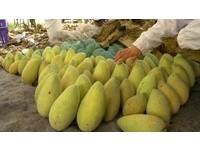 今年夏天恐吃不到芒果? 「暖冬」害果樹以為春天到了