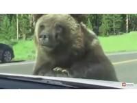 遊黃石公園路上巧遇熊 7歲女孩:有生以來最棒的一天