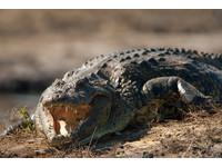 險被鱷魚當早餐 澳男河邊露營被咬醒