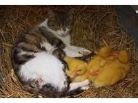 孩子,你是黃色也不要緊!貓媽媽無私照顧三隻黃色小鴨