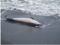 東港岸際發現死海豚 海巡就地掩埋