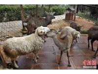 跨種族「畸戀」 雲南綿羊愛上梅花鹿天天交配