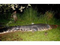 史前巨鱷「落龍」被捕 殺人魔搖身一變成印鈔機
