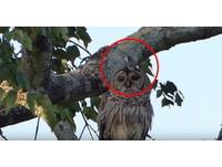貓頭鷹一臉哀怨站樹上 30秒內遭2隻小鳥狂「踹」20次