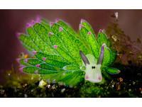 海底最萌小怪獸 魔幻「海蛞蝓」峇里島現身