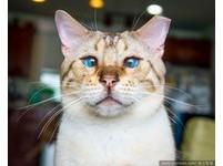 誰說牠面癱? 瘋狂貓人攝影師:喵的表情才多呢!(圖/達志影像)