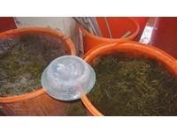 求賣相泡工業用鹼!彰檢破獲化工海帶 吃多恐致腎受損