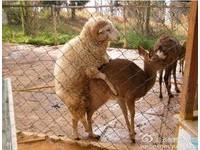 雲南綿羊愛上梅花鹿 動物園公布「愛愛」照