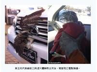 老鷹撞上高速汽車 毫「毛」未傷!