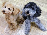 最可愛的搜救天使 貴賓狗成日本警犬