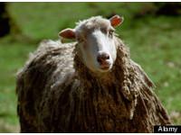色伯伯性侵羊咩咩 人獸交無罪!但可能被控虐待動物!
