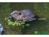阿根廷火地島要撲殺10萬隻河狸 7年前引進取毛皮