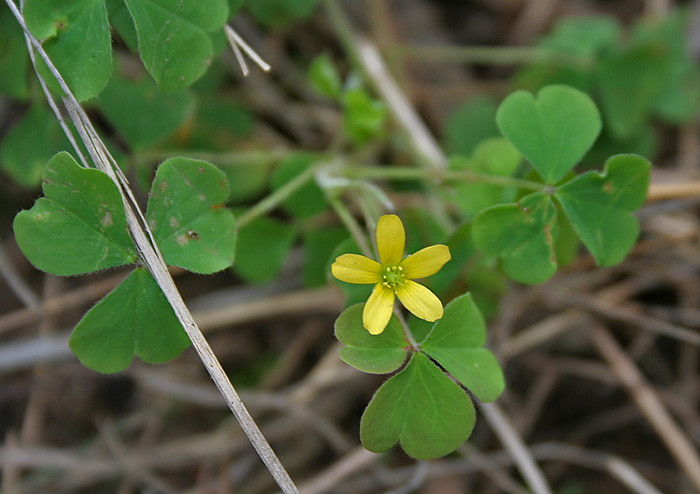 而不是三叶草」,跟国外说的幸运草其实是不同的植物.图片