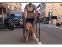 不離不棄!14歲黃金獵犬癱瘓 爸爸推「愛心輪椅」散步