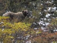 美婦人散步到一半被熊偷襲 忠犬「炸毛」把牠趕跑