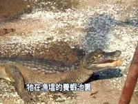 寵物鱷魚越長越大 北京男心驚驚求警接手