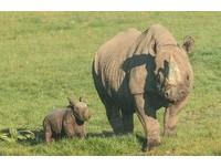 40年首見黑犀牛誕生瞬間曝光 緊貼媽媽怕走丟超級萌!