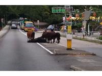 牛群難捨遭「路殺」同伴 圍著用鼻子輕頂「起來啊!」