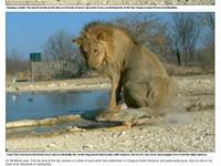 被獅子一屁股坐扁 「勇敢豺」憤怒回嗆
