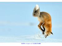 動物趣聞/狐狸為抓老鼠 如「跳水」般倒插進雪地