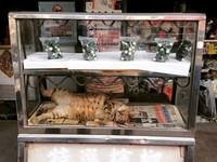 想買檳榔自己拿的概念? 「貓西施」玻璃櫃裡睡翻