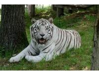 白老虎咬死飼養員逃出欄舍 園方圍捕好幾個小時才抓回