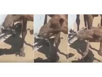 自己的水自己開!哈薩克駱駝「神技」 用嘴扭開水龍頭