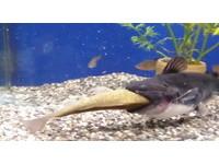 鯰魚吞食同size鯽魚 吃完變身「河豚」