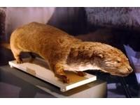 怪物「河童」原型 日本水獺絕種成歷史