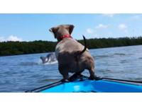 小臘腸跟主人划小舟出遊 看到海豚秒跳水:我也要玩~
